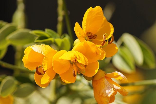 senna žlutý květ, detail.jpg
